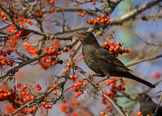 Eurasian Blackbird DSC_5017