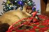 IMG_4846 (ScarletPeaches) Tags: furbabies furry animals critters pets domestic christmas 2017 kitty kitties feline elmo siamese