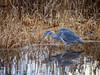 Graureiher auf der Jagd (torremundo) Tags: reiher graureiher schilf greifensee herbst wildlife vögel wild natur fällanden