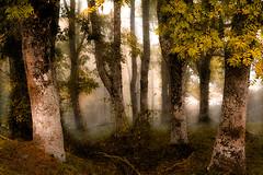 lizarrak 1 los fresnos (juan luis olaeta) Tags: lizarra fresno bosque basoa fog laiñotsu nieblas otoño autumn udazkena canon canoneos60d photoshop lightroom