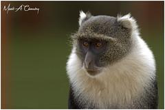 The Stare! (MAC's Wild Pixels) Tags: sykesmonkey sykes cercopithecusalbogularis monkey whitethroatedmonkey samangomonkey oldworldmonkey wildlife animal mammal africanwildlife wildafrica wildanimal safari gamedrive outdoors outofafrica nature makoyetipicnicsite nairobinationalpark nairobi kenya primate macswildpixels thestare ngc npc fabuleuse