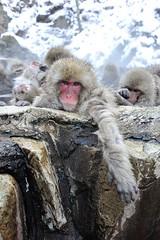 Snow Monkey (Makoto Naito) Tags: snow monkey nagano japan onsen