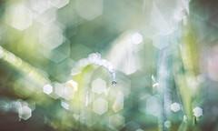 Dew drop - SMC Pentax M 50mm f1.7 (Dhina A) Tags: sony a7rii ilce7rm2 a7r2 smc pentax m 50mm f17 pentaxm50mmf17 bokeh manual kmount legend grass water droplets dew drops