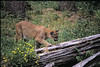 Cougar crossing a log (OkaWenNF) Tags: okanoganwenatchee national forest mammal animal concolor puma mountain lion panther catamount cat cougar north american nature flowers yellow fern wood tree grass
