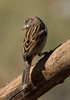 House Sparrow (cindyslater) Tags: bird goldenvalleyaz sparrow cindyslater arizona animal