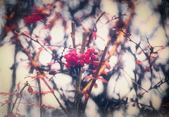 The mood before Christmas ... (Julie Greg) Tags: tree nature mood berry