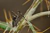 Ñajo (III) (Juan Carlos Muñoz Flores) Tags: loscarrascos segura parquenatural macro almanalongipes insectos