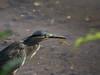 Striated heron catching dragonfly (Robert-Ang) Tags: heron striatedheron littleheron prey predator dragonfly chinesegarden singapore wildlife nature animalplanet