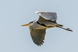 DSC5015  Grey Heron...