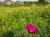 Precious [explore] (Christine Schmitt) Tags: 52in2017 precious cosmos cosmea flower pink bees beautiful explore explored