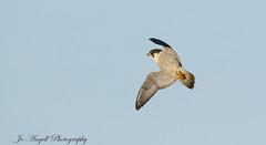 Sky Dancer (jo.angell) Tags: peregrine falcon buckinghamshire boxing day flight birds prey
