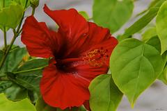 HIBISCUS (Ezio Donati is ) Tags: natura nature fiori flowers foresta forest acqua water laguna lagune macro africa costadavorio grandbassamarea