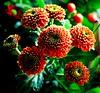 Flower Bomb (barbara_donders) Tags: bloem nature natuur orange oranje colorfull kleurrijk magical beautifull mooi prachtig bloemen flowers