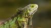 IMG_1807 (CanonDLee) Tags: animal aruba caribbean iguana island lizard oranjestad reptile spines travel