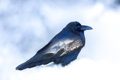Lake Louise Raven (Peter Stahl Photography) Tags: raven lakelouise banffnationalpark winter snow rockymountains