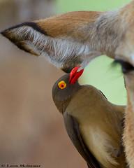 Red-billed Oxpecker (leendert3) Tags: leonmolenaar wildlife birds nature krugernationalpark southafrica redbilledoxpecker ngc npc coth5