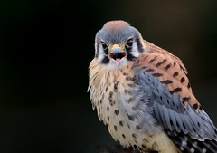 American Kestrel (Christine Fusco) Tags: falcosparverius americankestrel kestrel southcarolina beak bird