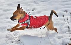 ~~ Lily, chien polaire !!! ~~ (Joélisa) Tags: décembre2017 lily chien dig neige snow mouvement course manteau