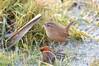 (deanmorgan4) Tags: winter feathers wild bird gloucestershire unitedkingdom wildlife wren