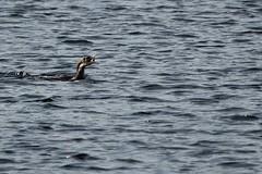 PA188445_  Kormoran, Phalacrocorax carbo (wuffwuff02) Tags: phalacrocoraxcarbo dars darsernordstrand kormoran mecklenburgvorpommern meer ostsee vogel