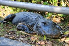 Alligator @ Everglades (Rick & Bart) Tags: evergladesnationalpark florida everglades park usa nature wetland airboat rickvink rickbart canon eos70d miamidade animal alligator