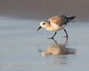"Sanderling (dennis_plank_nature_photography) Tags: padreislandnationalseashore sanderling avian birds nature ""avianphotography"" ""birdphotography"" ""naturephotography"""