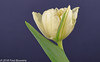 """On our diningtable,  """"white/green tulip"""" (Fred / Canon 70D) Tags: tulp tulip canon70d canoneos canon falconeyesskk2150d falconeyes falconeyessoftbox falconeyesoctabox ef100mmf28lmacroisusm whitegreentulip eefde closeup"""