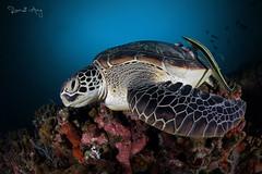 S L E E P Y (Randi Ang) Tags: gili meno gilimeno islands island giliislands lombok indonesia underwater scuba diving dive photography wide angle randi ang canon eos 6d fisheye 15mm randiang