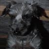 New Year, New Doo... (John Neziol) Tags: jrneziolphotography pet petphotography portrait petphotographer dog dognose schnauzer cute closeup brantford beautiful nikon nikoncamera nikond80 nikondslr