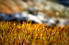 Dew on moss / Tau auf Moos (Caledoniafan (Astrid)) Tags: caledoniafan nature natur macro makro moss moos dew dewdrops tau tautropfen nikon nikoncoolpixl820 nikoncoolpix winter