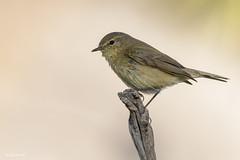 _SEN3833-E (Sento74) Tags: mosquiterocomún phylloscopuscollybita aves birds fauna nikond500 tamron150600