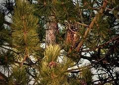 "Great Horned Owl (Bubo virginianus):  ""What?"" Not ""Who?"" (Ginger H Robinson) Tags: greathornedowl bubovirginianus strigiformes strigidae quintessential owl tigerowl hootowl yelloweyed stare earlike tufts plumicorns fierce powerful predator bird soft feather insulation camouflage pine tree backyard rockymountain frontrange colorado northamerica perch midday nap"