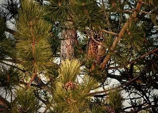 Great Horned Owl (Bubo virginianus):