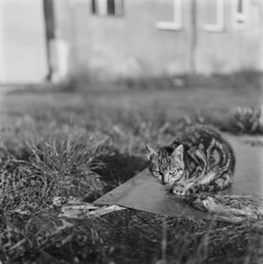 Cat chronicles pt. 2 (Other dreams) Tags: cat feralcat catportrait kitty kitten backyard yard grass building bokeh rolleiflex xenotar bw analogue autumn goldenhour earlymorning