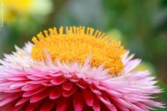Straw flower (Wonder Kitsune (Catching up !)) Tags: asteraceae xerochrysum strawflower everlastingflowers cutflower ornamentalplant daisy macro flower pinkflowers