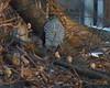 Sharp-shinned Hawk (Dendroica cerulea) Tags: sharpshinnedhawk accipiterstriatus accipiter accipitrinae accipitridae accipitriformes aves bird birds hawk birdofprey sharpie winter donaldsonpark highlandpark middlesexcounty nj newjersey
