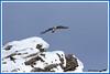 Gypaète crête 180115-02-P (paul.vetter) Tags: oiseau ornithologie ornithology faune animal bird gypaètebarbu gypaetusbarbatus bartgeier quebrantahuesos beardedvulture vautour rapace