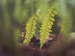 Veiled ferns (A_Peach) Tags: g5 pancolar park mft m43 lumix panasonic microfourthird micro43 apeach anjapietsch vintagelens manualfocus adaptedlens dof bokeh plant nature availablelight fern farn veiled green panasoniclumixg5 czjpancolar50mmf18