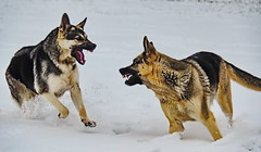 My, what big teeth you have... (ArmyJacket) Tags: germanshepherd gsd dogs dog pet snow animal major lucy home southcarolina reidville upstate outdoors weather play
