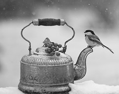 Winter's Whimsy (dshoning) Tags: hmbt winter tea chickadee iowa january snow perched silver