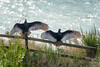 20180117_Vultures_0003 (jnspet) Tags: vulture turkeyvulture bird birds wing wings water fence avian buzzard buzzards outdoor spreadwide stretch feathers wingsoutstretched wingsspread backlight cathartesaura perch perched sunning post wood
