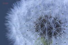 Dandelion (gedaesal) Tags: taraxacum dientedeleón dandelion macrodreams macro closeup nopeople