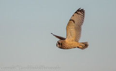 Short Eared Owl - (Asio flammeus) 'Z' for zoom (hunt.keith27) Tags: talons bird feathers wings quartering asioflammeus shortearedowl inflight owl eyes beautiful magnificent medium sized owls pale underwings yellow hunting mammals especially voles animal exmoor canon grass sky field