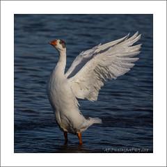 Greylag Goose (Anser anser) (prendergasttony) Tags: wetland greylaggoose orange marine intertidal rspb wildlife goose lancashire fairhaven nikon d7200 tonyprendergast wings anser water winter sunshine nature feathers