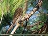 Asian Barred Owlet (Glaucidium cuculoides) (gilgit2) Tags: asianbarredowletglaucidiumcuculoides avifauna birds canon canoneos7dmarkii category fauna feathers geotagged haripur imranshah kpk location pakistan sangada species tags tamron tamronsp150600mmf563divcusd wildlife wings gilgit2 glaucidiumcuculoides