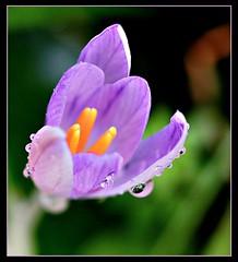 February Crocus (ronramstew) Tags: crocus flower bloom birchmoor garden leverpool merseyside stmichaels winter olympus60mmmacro