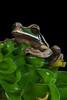 Masked Treefroog (Christian Sanchez Photography) Tags: anfibio alimento macrofotografia reptile