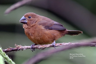 Thick Billed Seed Finch (female)_IMG_4443