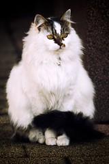 0702 Cat Named Quatro (Hrvoje Simich - gaZZda) Tags: sitting white beauty portrait outdoors noperson nikon nikond750 sigma150500563 gazzda hrvojesimich