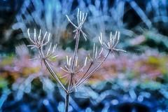 Trésor d'hiver (Briren22) Tags: gel givre nature plantes blanc hiver